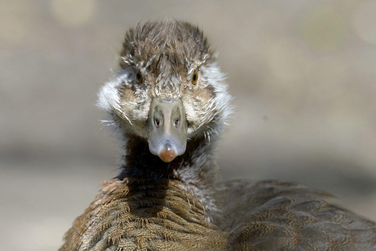 An Egyptian gosling